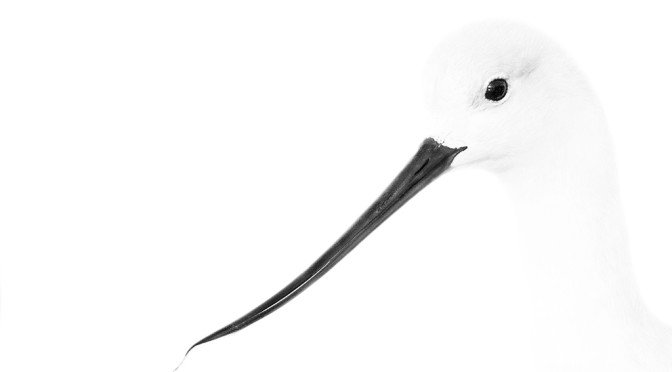 NGJ - American Avocet with Water Drops